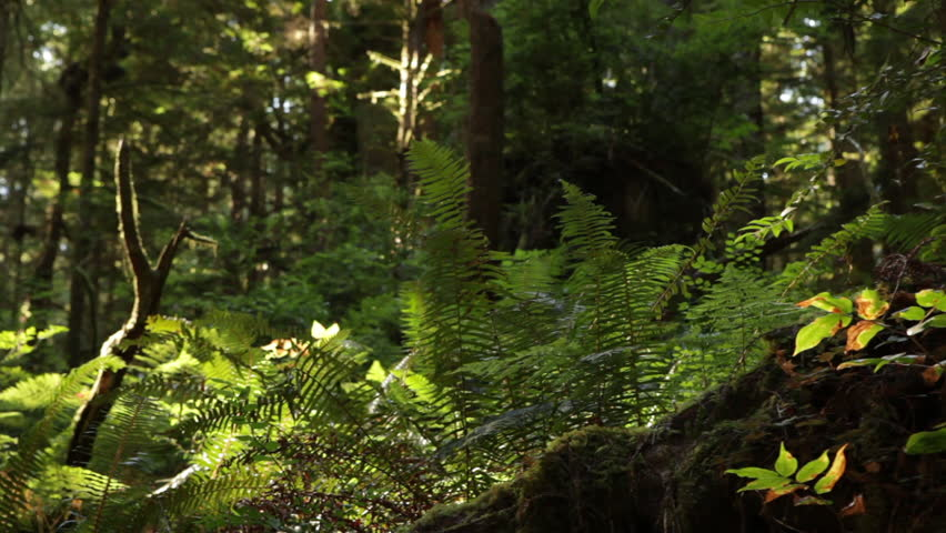 Redwood forest ground growth - HD stock footage clip