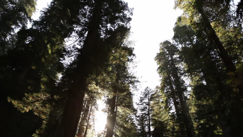 Sun through tall, shadowy redwood trees
