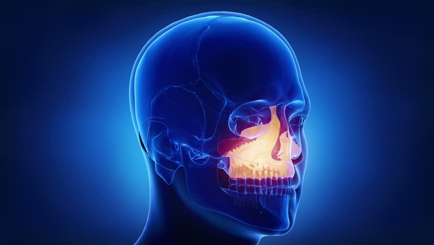 Blue x-ray skull animation - MAxilla - corpus maxillae | Shutterstock HD Video #20512366