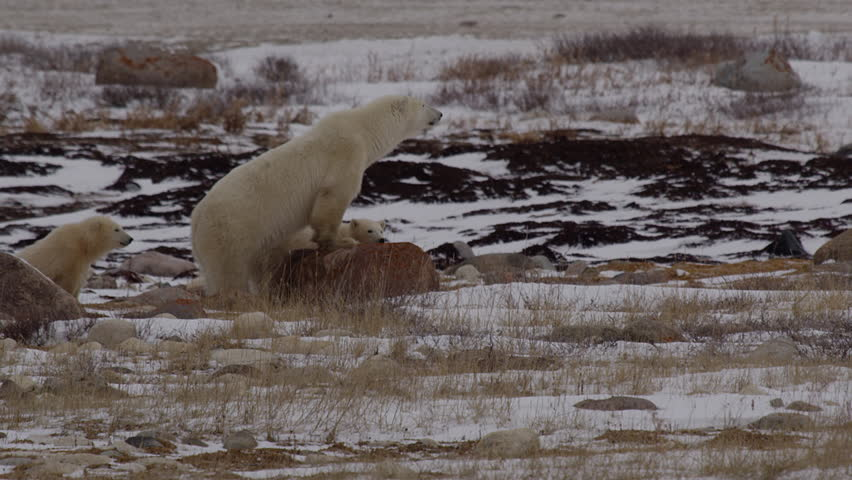Mother polar bear stands on rock looking for threats to her cubs   Shutterstock HD Video #20642416