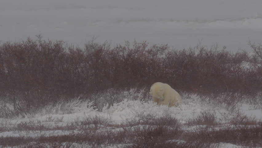Polar bear in willows shelters from blizzard winds as sun shines | Shutterstock HD Video #20677084