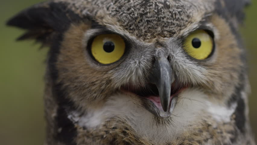 Horned owl close up slow motion breathing  | Shutterstock HD Video #20791834