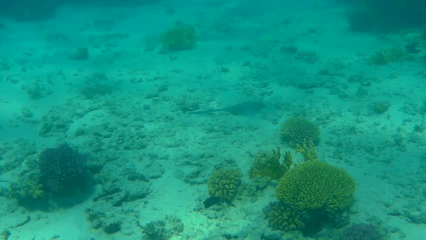 Blue Spotted Stingray Swimming over the Sand in the Red Sea   Shutterstock HD Video #20985982