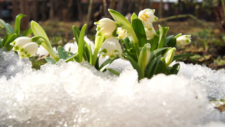 Melt snow with snowdrops, time lapse