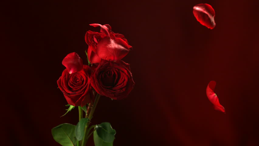 Petals fall around single rose hd stock footage clip for Individual rose petals