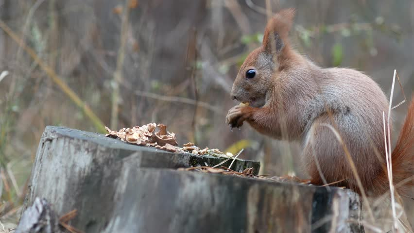 Cute red squirrel sits on the tree stump and eating walnut in the autumn park #21235075