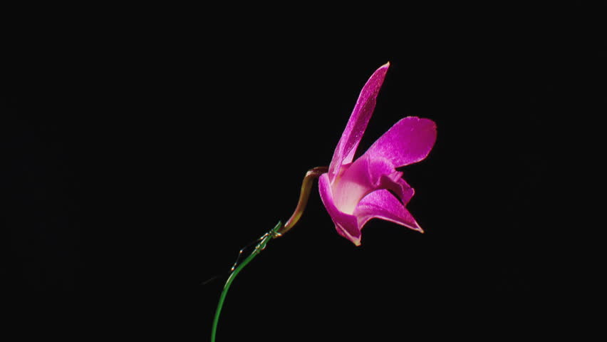 CU Pink Orchid flower (Orchidaceae) spinning against black background (October, 2012) #21288805