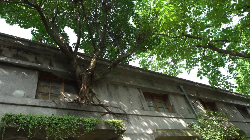 4K Big Tree With Green Leaves Grow In The Window Of A Old House Whit