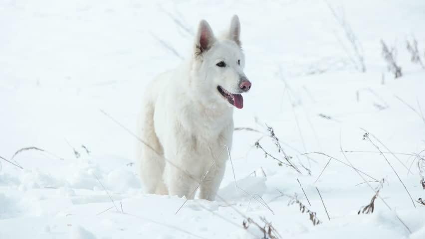 Shepherd Dog looking | Shutterstock HD Video #21460912