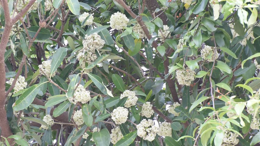 Header of Alstonia Scholaris