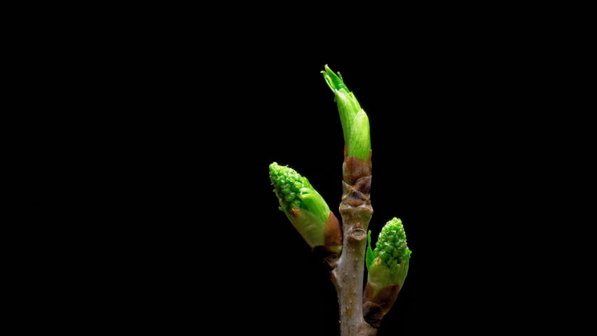 Time-lapse macro leaf bud growing - isolated on black background. Closeup of green twig with leaf buds - HD stock footage clip