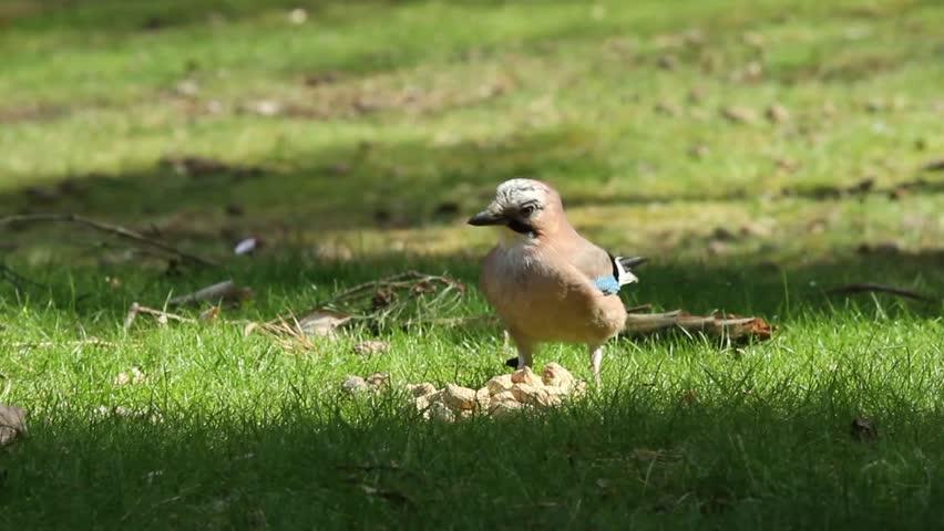A Jay bird (Garrulus glandarius) is eating a peanut - HD stock video clip
