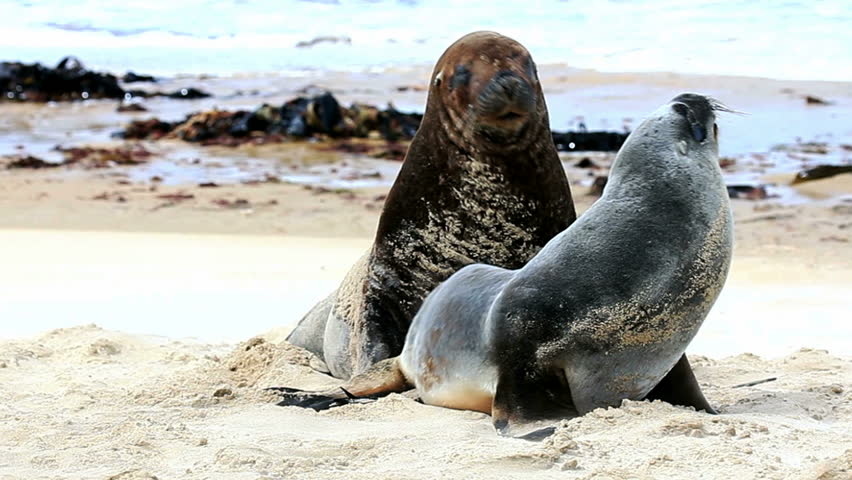 Sea lions mating - photo#7