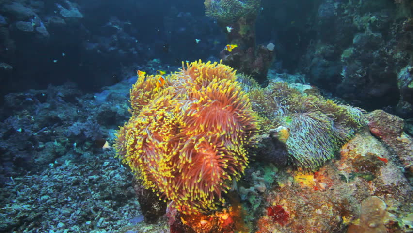 anemone city covered by clown fish - HD stock footage clip