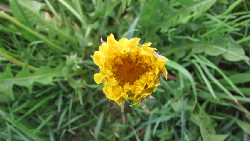 Dandelion opening its blossom - timelapse - HD stock footage clip