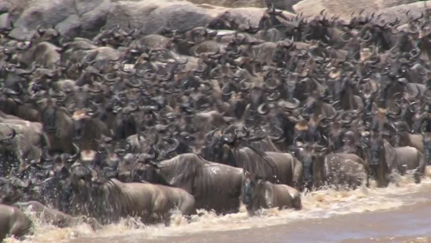 Wildebeests Migration across the Mara River.  - HD stock footage clip