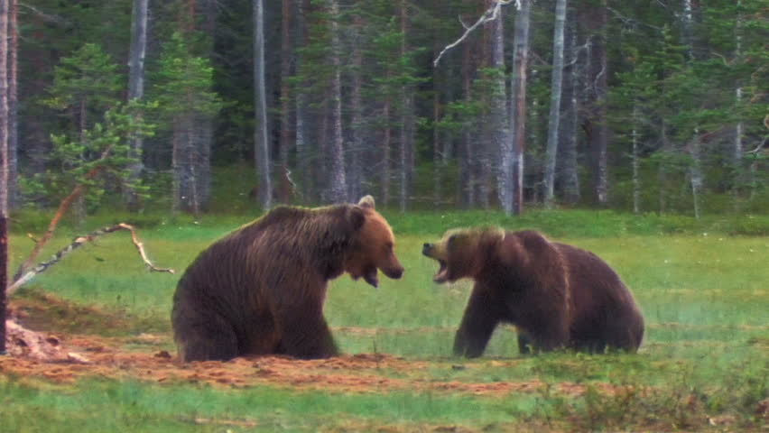 Brown Bears fighting
