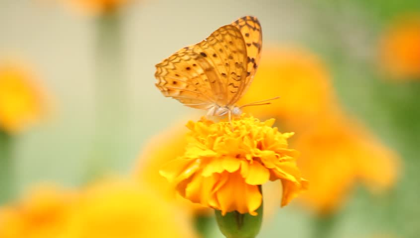 Butterfly with yellow flowers and a garden with green leaves. - HD stock footage clip