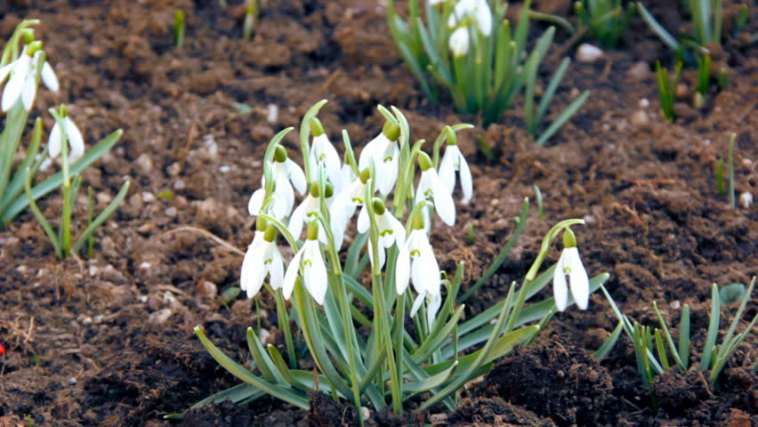First spring snowdrops from fresh soil. Sunny day. HD1080p.  - HD stock footage clip