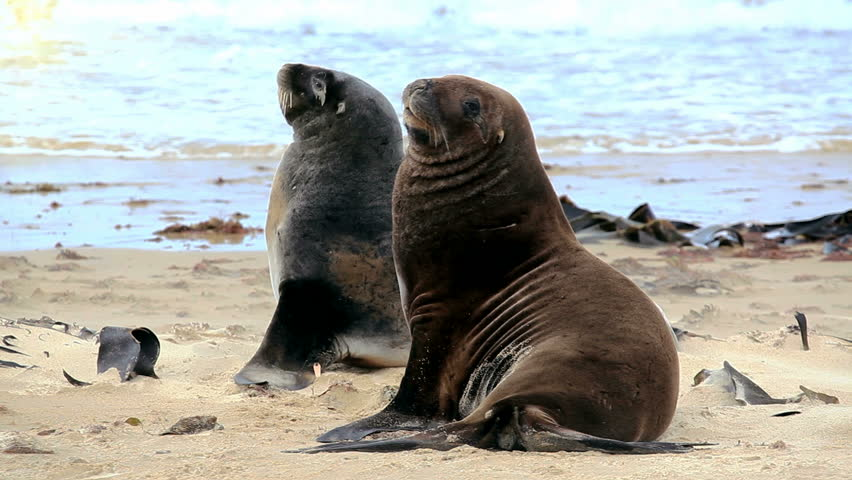 Sea lions mating - photo#21