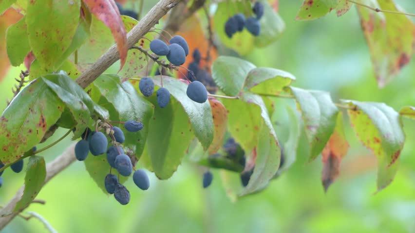 Mahonia aquifolium (Oregon-grape or Oregon grape) is species of flowering plant in family Berberidaceae, native to western North America. - 4K stock video clip