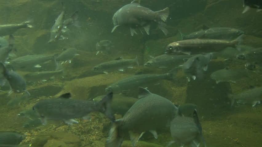Underwater clip of various pacific northwest fish swimming for Pacific northwest fish