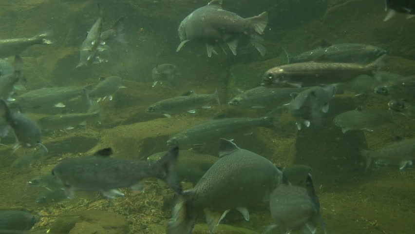 Underwater clip of various Pacific Northwest fish swimming including trout, salmon and sturgeon.