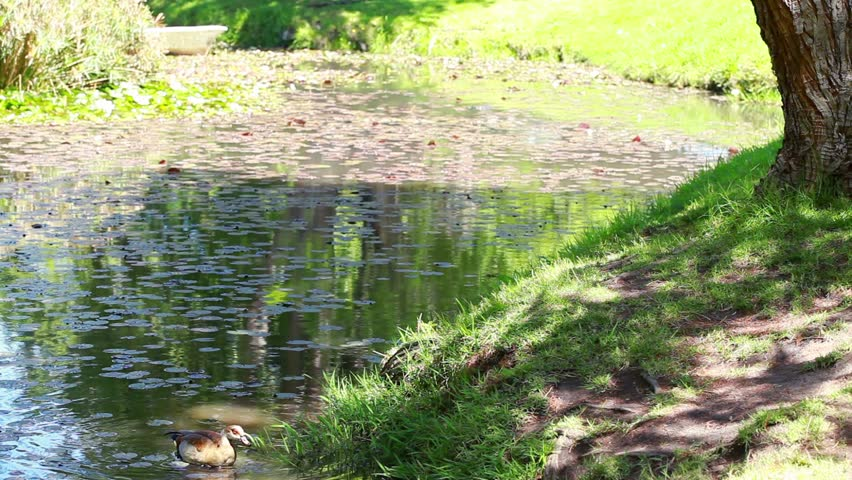 Mother and daughter nourishing ducks in a park - HD stock video clip