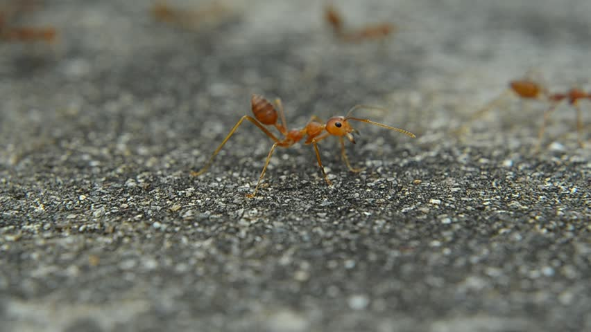 Red ant on cement | Shutterstock HD Video #23116273
