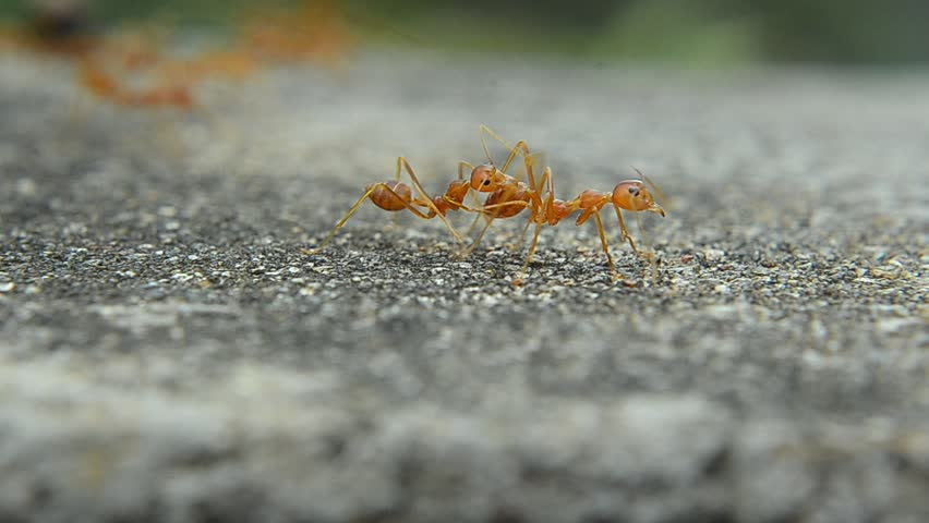 Red ant on cement | Shutterstock HD Video #23116300