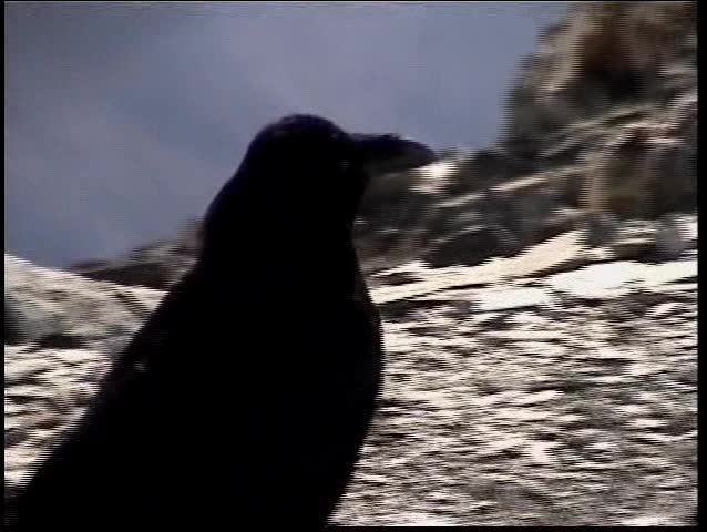 crow on snowy ridge 9000' above sea level, Canadian Rockies montage (Digital8)