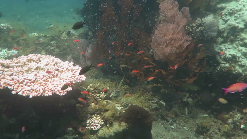 Thriving coral reef alive with marine life and shoals of fish, Bali | Shutterstock HD Video #23142814