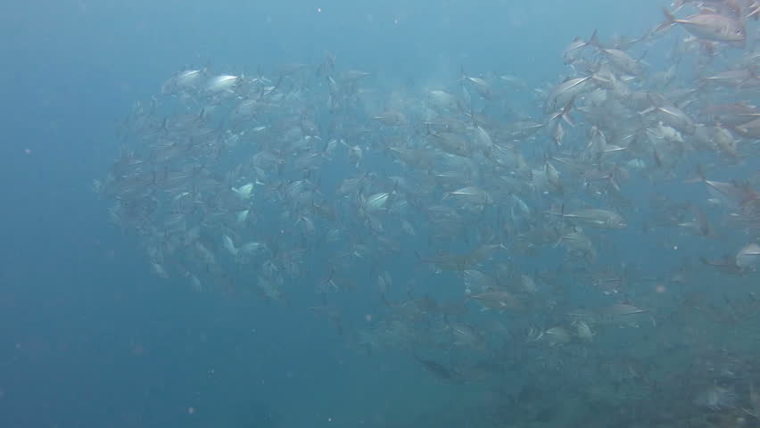 Sardine School in the Red Sea | Shutterstock HD Video #23182414