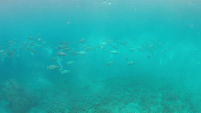 School of Humphead Parrotfishes on a colorful coral reef.  4k footage | Shutterstock HD Video #23182972