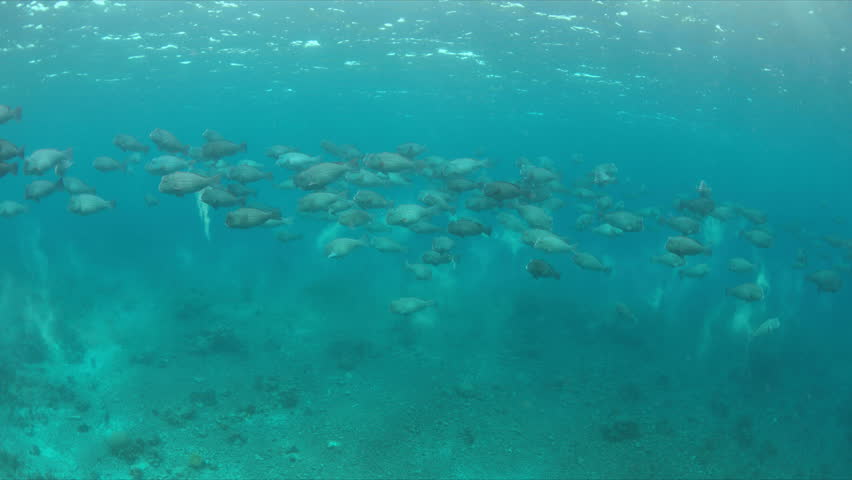 School of Humphead Parrotfishes on a colorful coral reef.  4k footage | Shutterstock HD Video #23182990