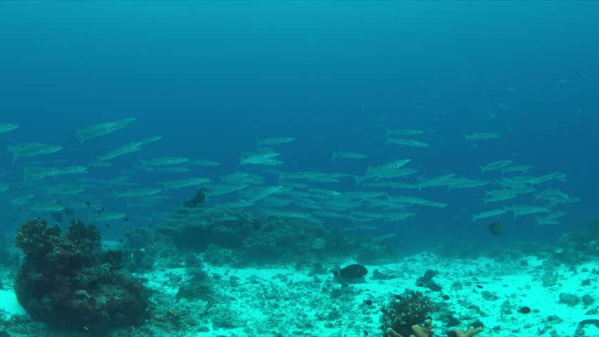 School of Barracudas swims in a light current on a coral reef. 4k footage | Shutterstock HD Video #23183854