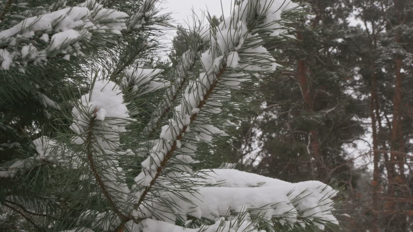 Beautiful tree covered with snow, close-up view, in the frosty winter, the Christmas forest | Shutterstock HD Video #23211376