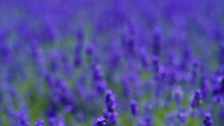 Lavender. | Shutterstock HD Video #23213833