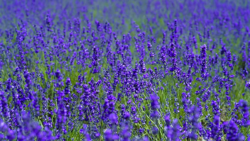Lavender. | Shutterstock HD Video #23213842
