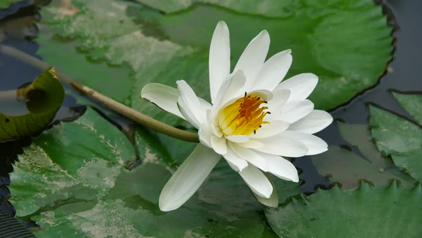 Ho Chi Minh city, Vietnam - Jan 20, 2015: Beautiful waterlily or lotus flower. | Shutterstock HD Video #23258680