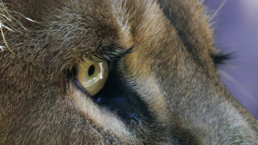 close up of a male lion's eye - HD stock footage clip