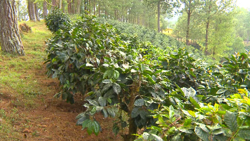 coffee plantation in South America wide shot pan