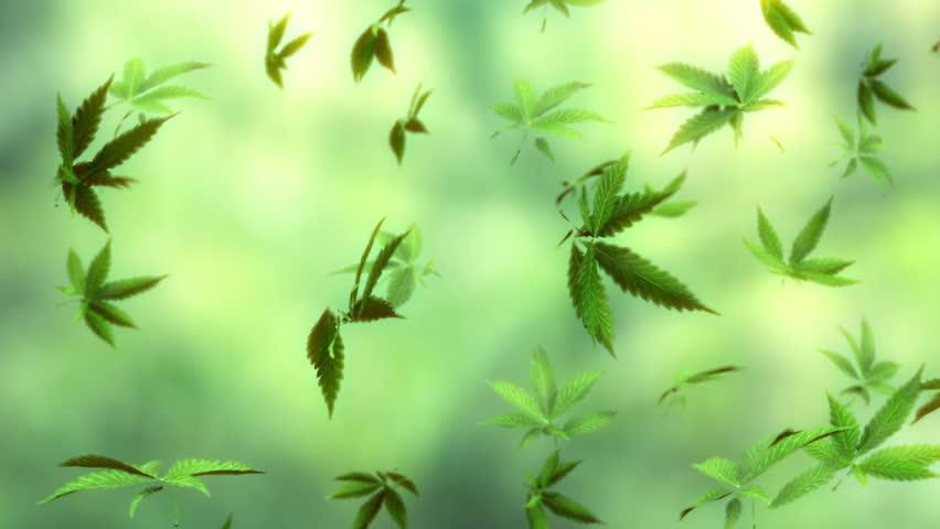 loop-able animation of falling marijuana leaves