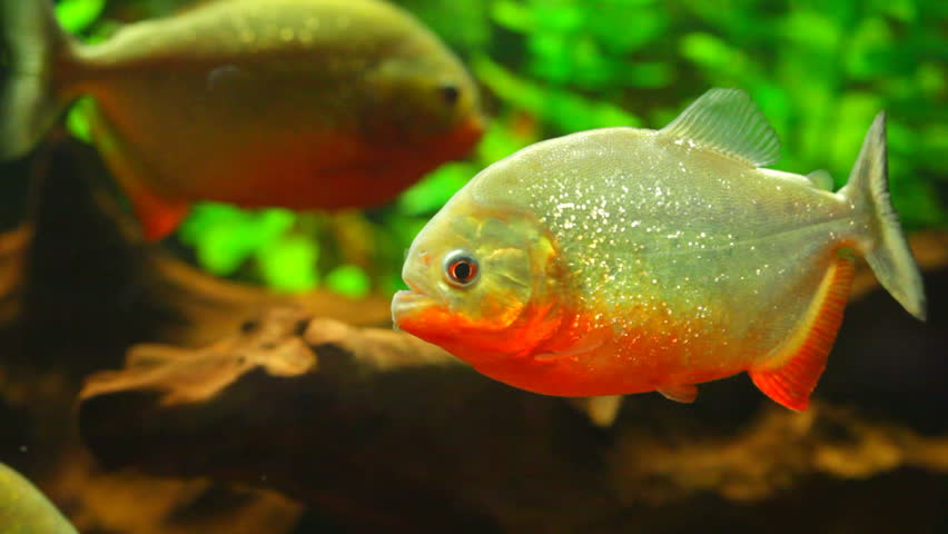 Piranhas fish tank for Piranha fish tank