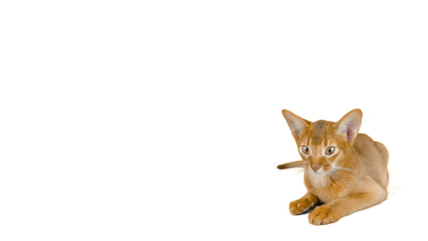 Header of Abyssinian Cat