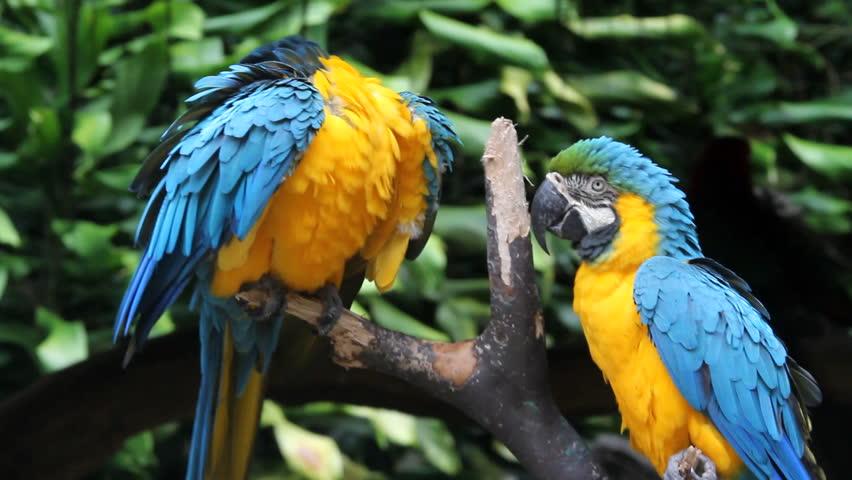 Parrots, close-up, portrait - HD stock footage clip