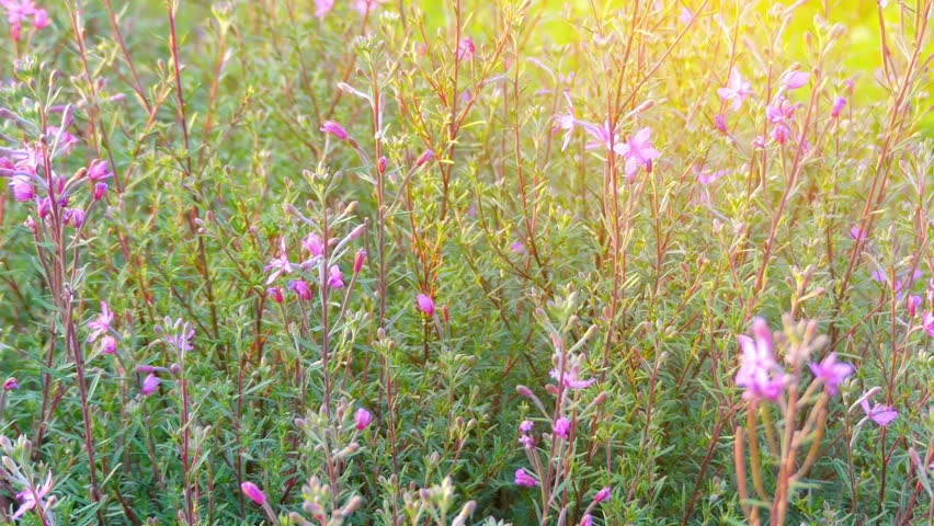 Header of Alpine Willowherb