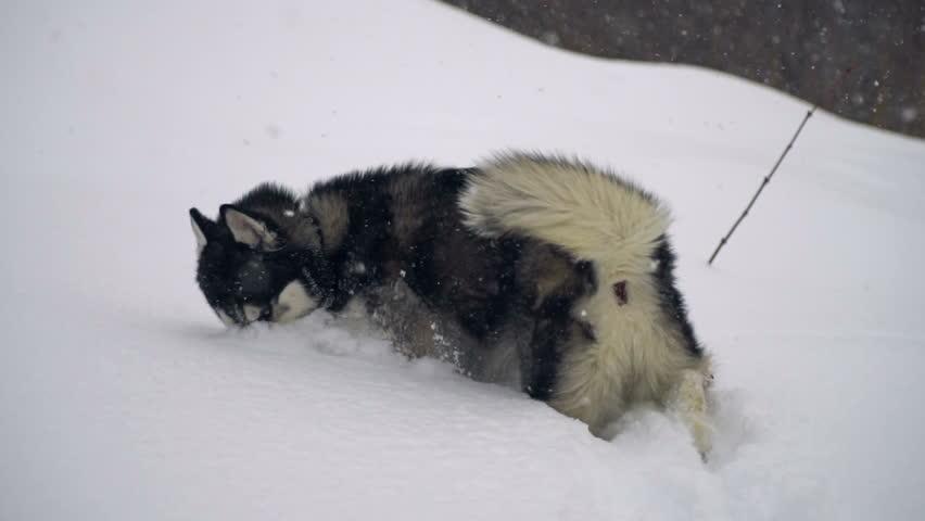 Husky in winter forest. slow motion | Shutterstock HD Video #24107056