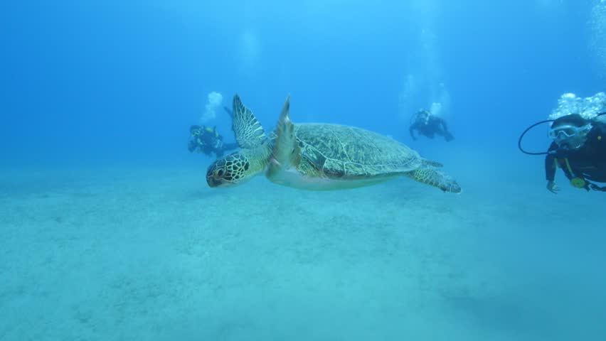 Turtle swimming with divers underwater. green sea turtle (Chelonia mydas) swimming caretta  | Shutterstock HD Video #24158590