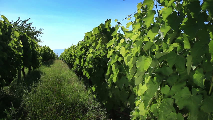 Little vineyard in Macedonia rows of grapes on vines